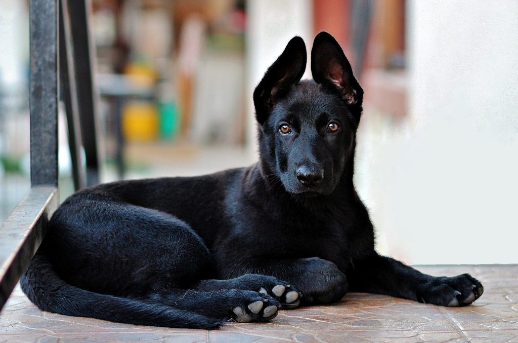 un berger allemand noir